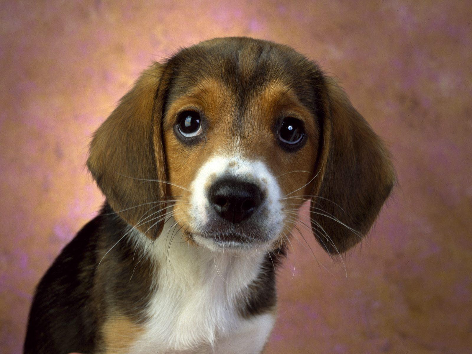 puppy-eyes-beagle