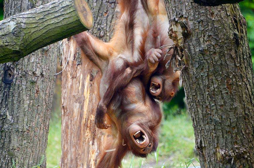 frans_van_der_kolff_familiar_orangutan