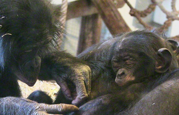 A glimpse into the emotional worlds of bonobos and orangutans