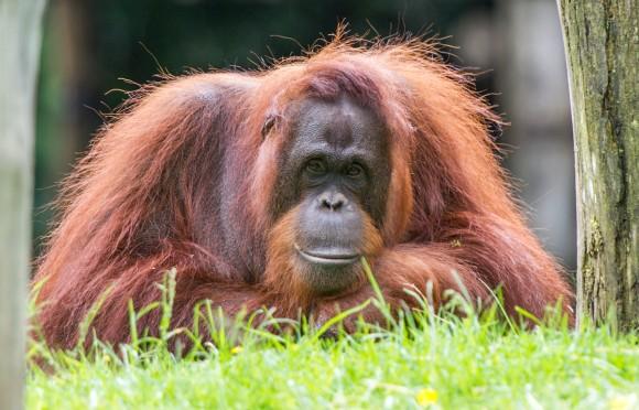 Onderzoek met de orang-oetans van Apenheul: een update!