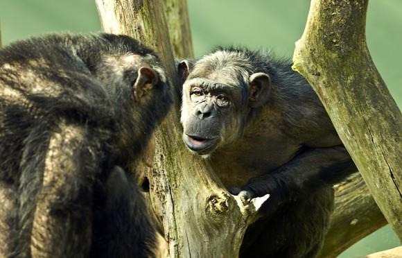Nieuwe samenwerking met Nordhorn Tierpark: op welke emoties letten chimpansees?