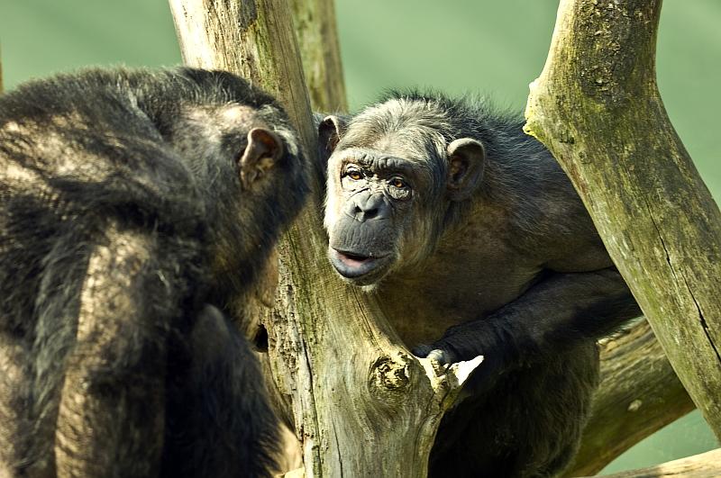 schimpansen-kleines-bild-mitte